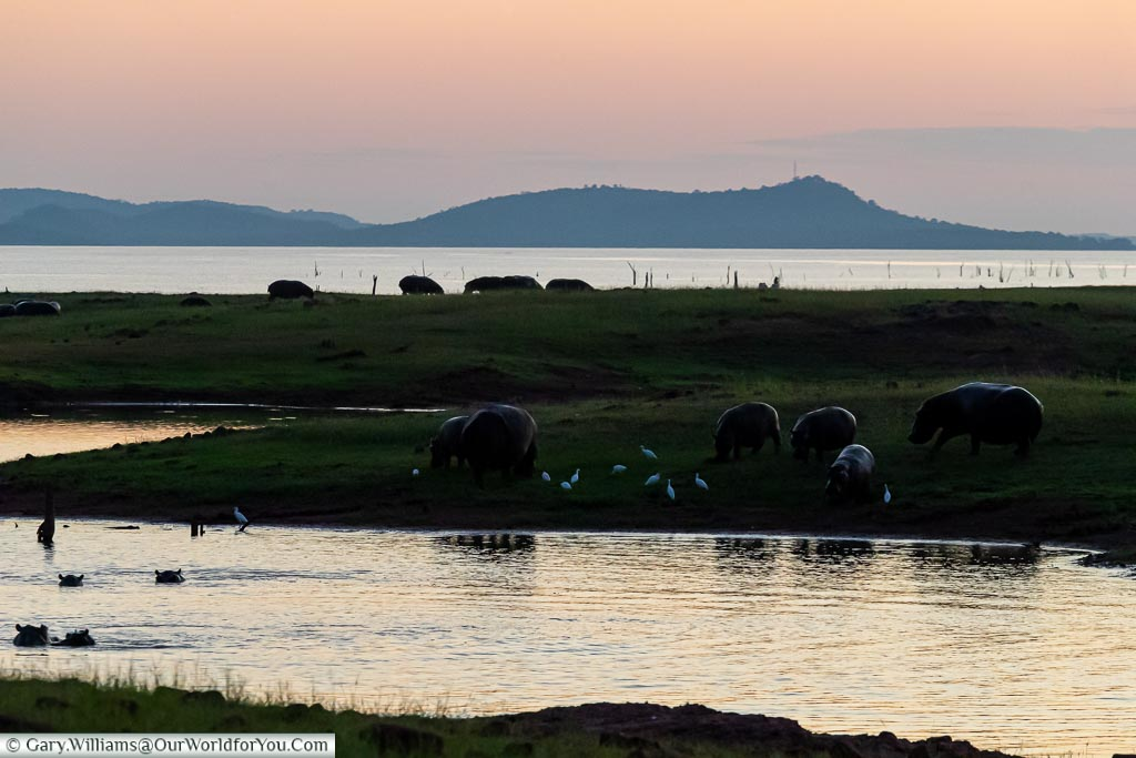 Hippos at sunset, Sundown safari drive, Rhino Safari Camp, Lake Kariba, Zimbabwe