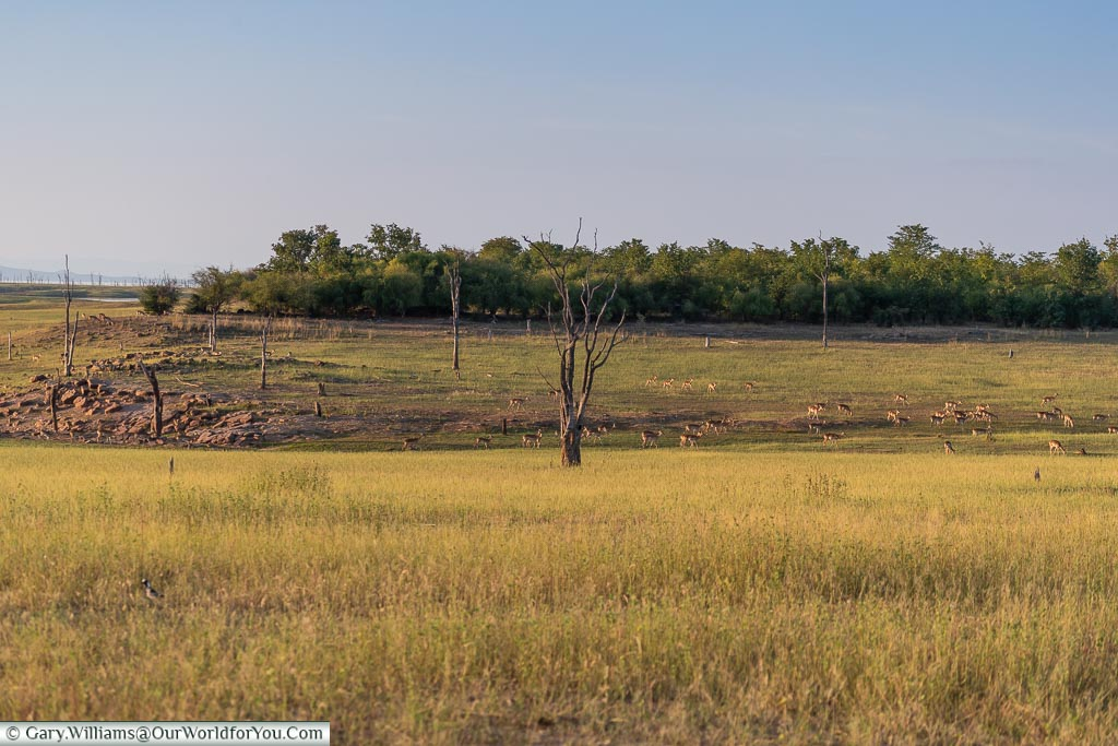 Impala grazing, Sundown safari drive, Rhino Safari Camp, Lake Kariba, Zimbabwe