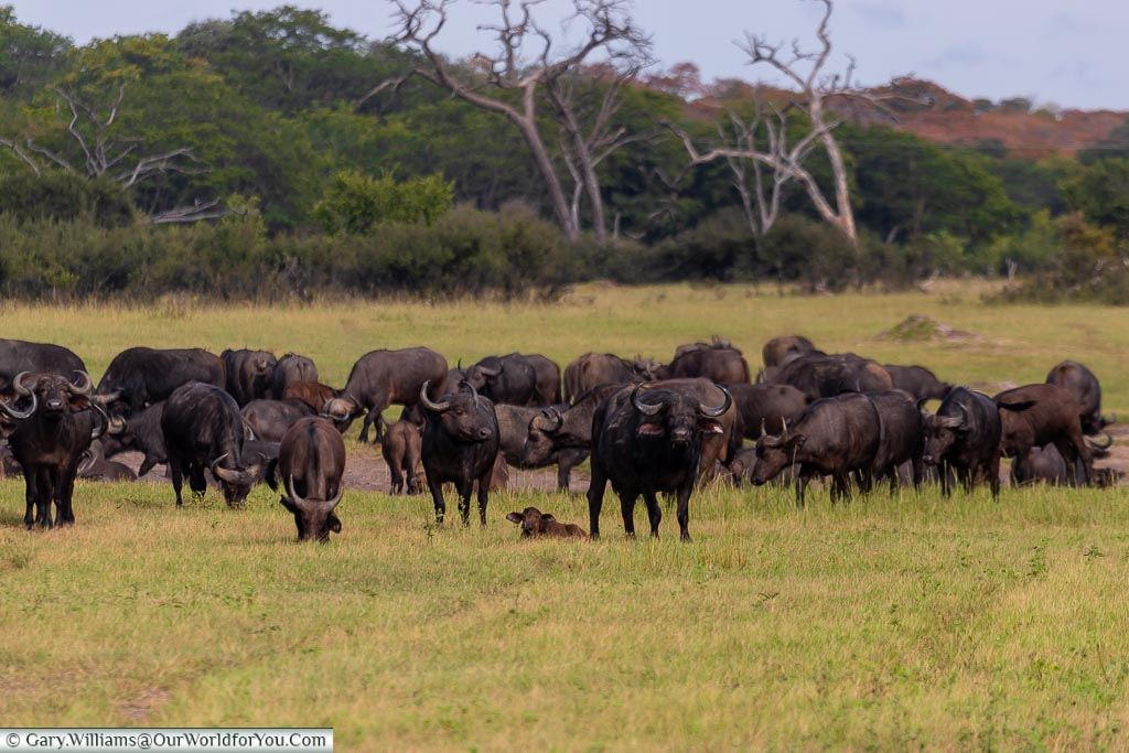A herd of buffalo grazing, with the ones on the periphery keeping a close eye on us watching them.  There's a young calf laid between 2 of the 'guards'.
