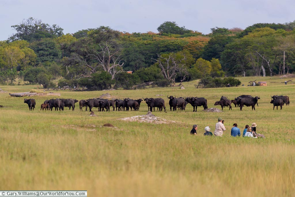 A group of 7 people seated in the valley in front of a herd of around 40 buffalo grazing in the middle of the valley