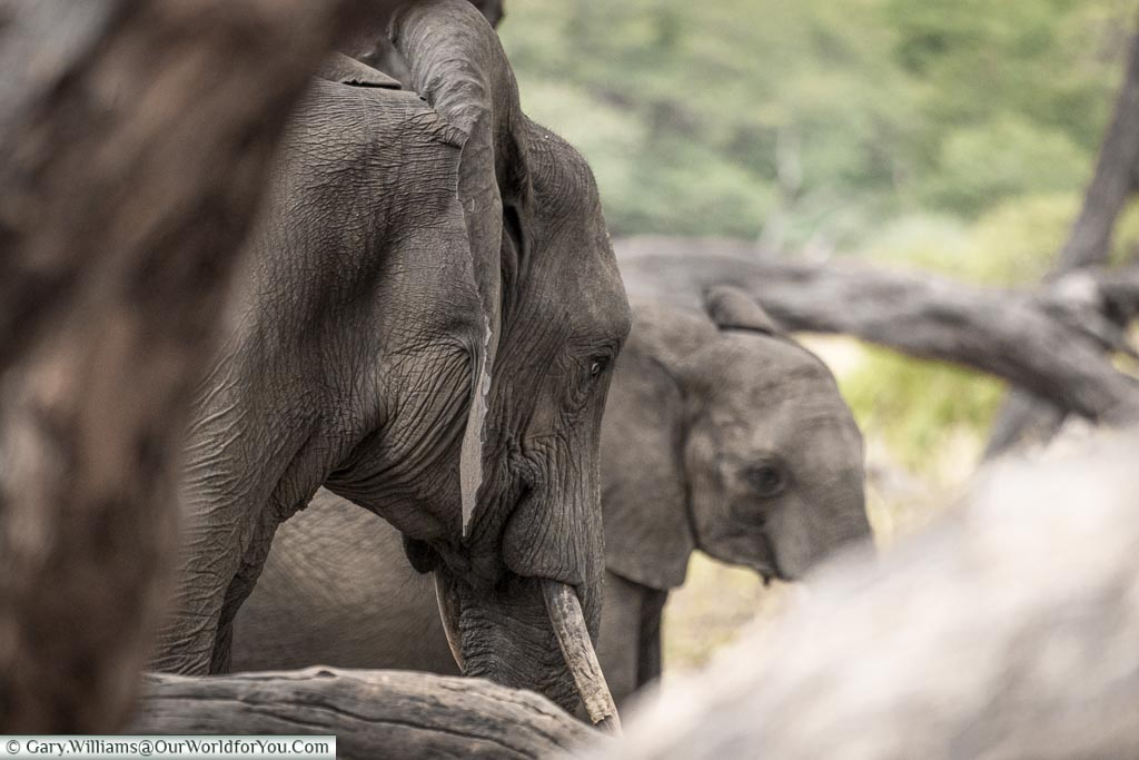 A close up of an elephant, with a baby elephant in the background, framed by tree trunks.