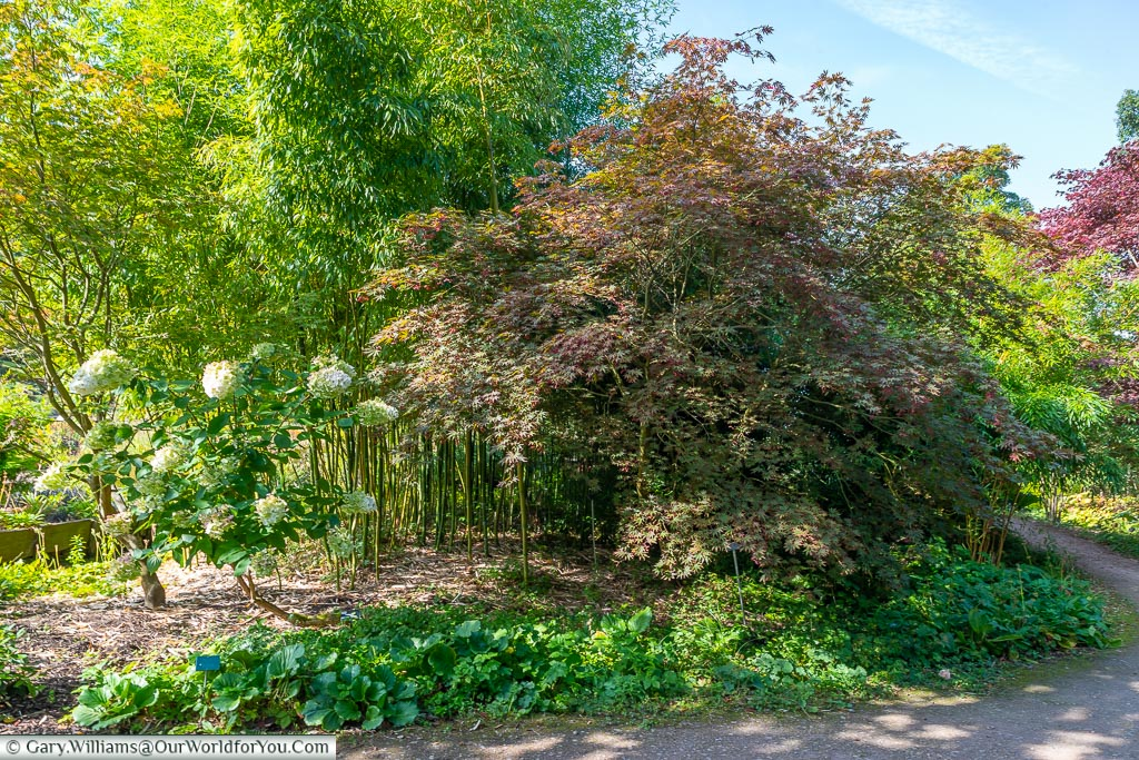 A border dominated by a large Acer next to the path in the  Oakwood section of the gardens.