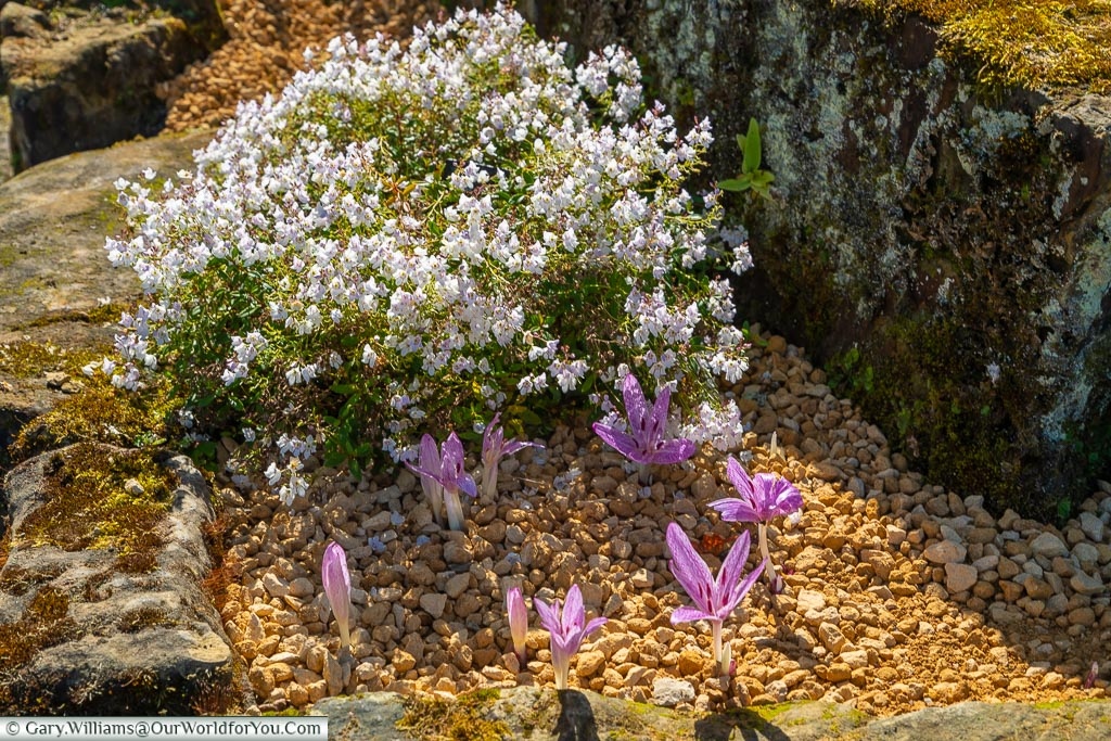 Beautiful white flowers and purple crocuses in a bed in the Rock Garden