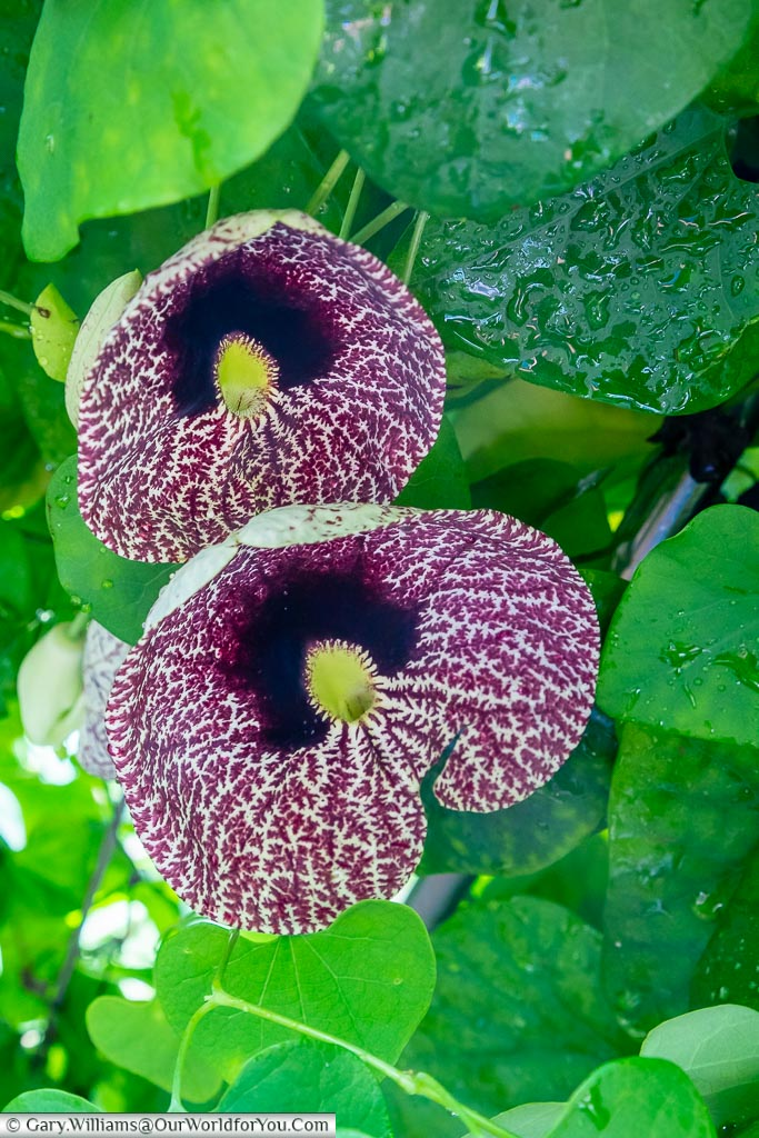 A delicate orchid in the Glasshouse with a mottled purple and cream flow with a dark purple centre.