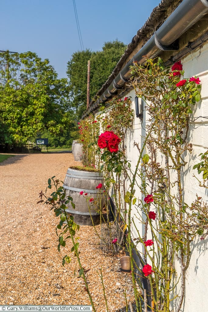 Red climbing roses against a white timbered building alongside a gravel path that leads towards the vineyards.