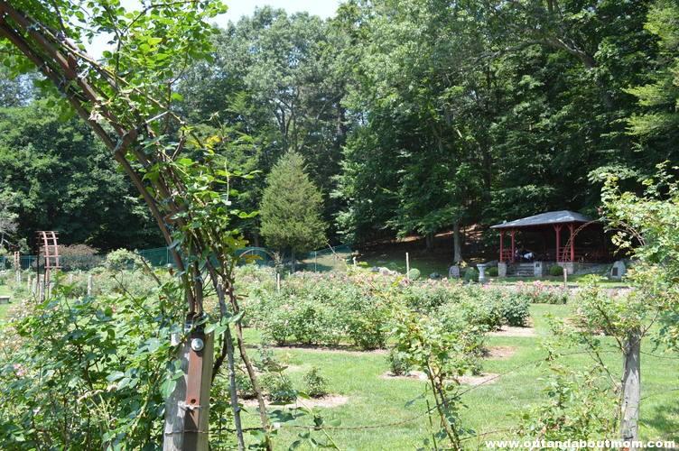 Memorial Rose Garden-- past its prime.