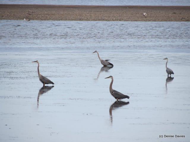 Blue Herons Mahoneys Beach 9756