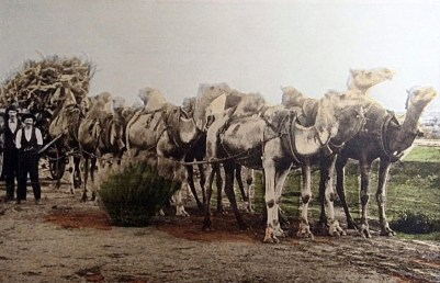 """Trees of gold: How it was done around 1900. As time progressed, sandalwood pullers shifted from camels to trucks to cart their """"hard-earned"""" to market."""