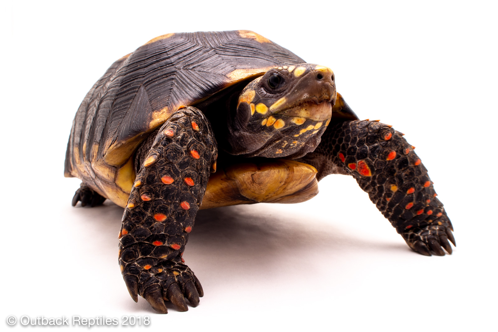 redfoot tortoise 8 10