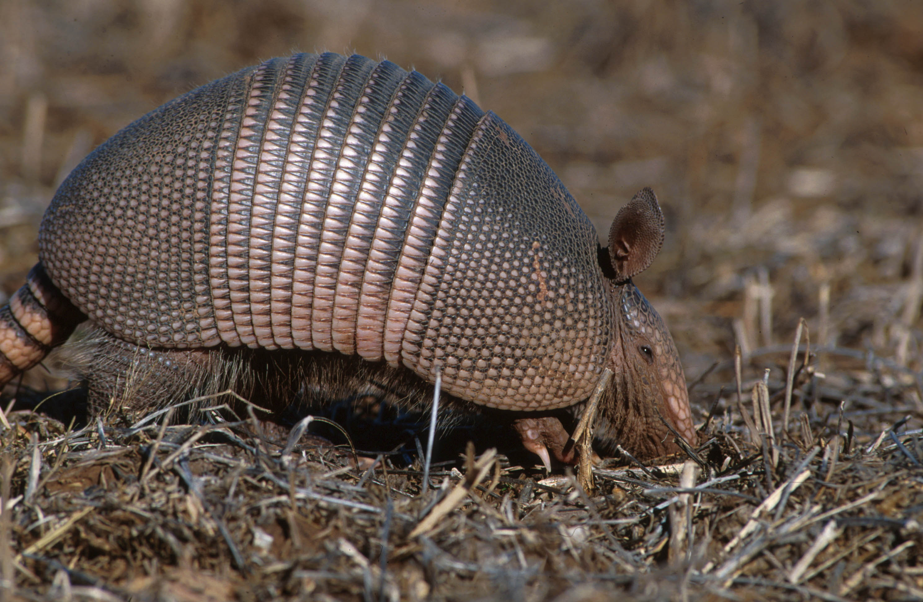 armadillo outdoor alabama