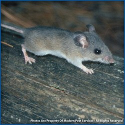 Image result for gray mouse