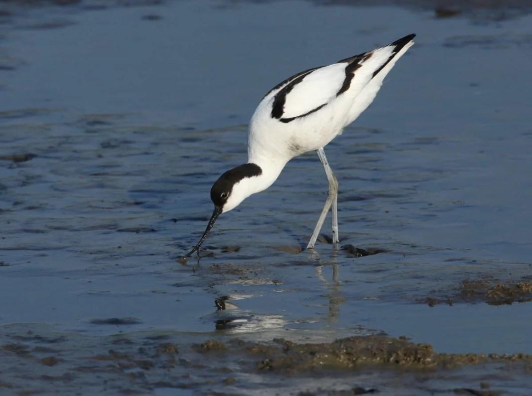 Je ziet in NP Oosterschelde veel weide- en watervogels zoals de kluut. Foto: Chiel Jacobusse