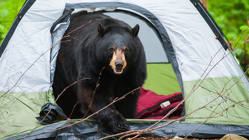Tips for Car Camping in Bear Country FI