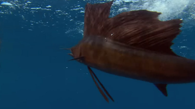 Health Concerns Related To Sailfish