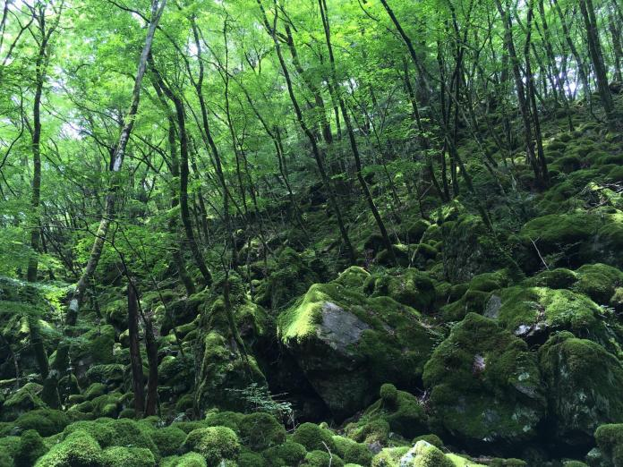 Moss Forest at Mt. Yamainudake in Kamikatsu