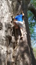The author's son scales the baobab barefoot.