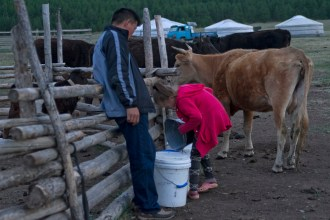 Milking the cows, a daily activity.