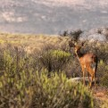 A steenbok, one of the smaller mammals that frequent the Western Cape.