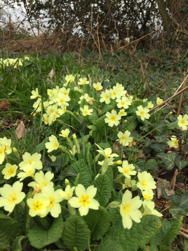 A group of primrose nestle in the lee of an overgrown hedge