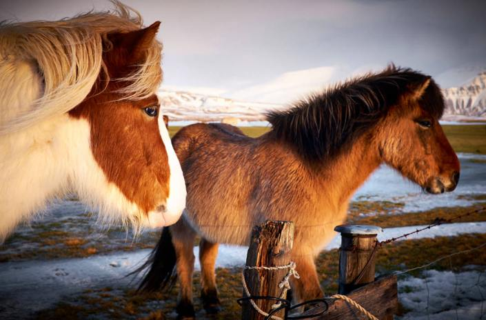 ponies in Iceland