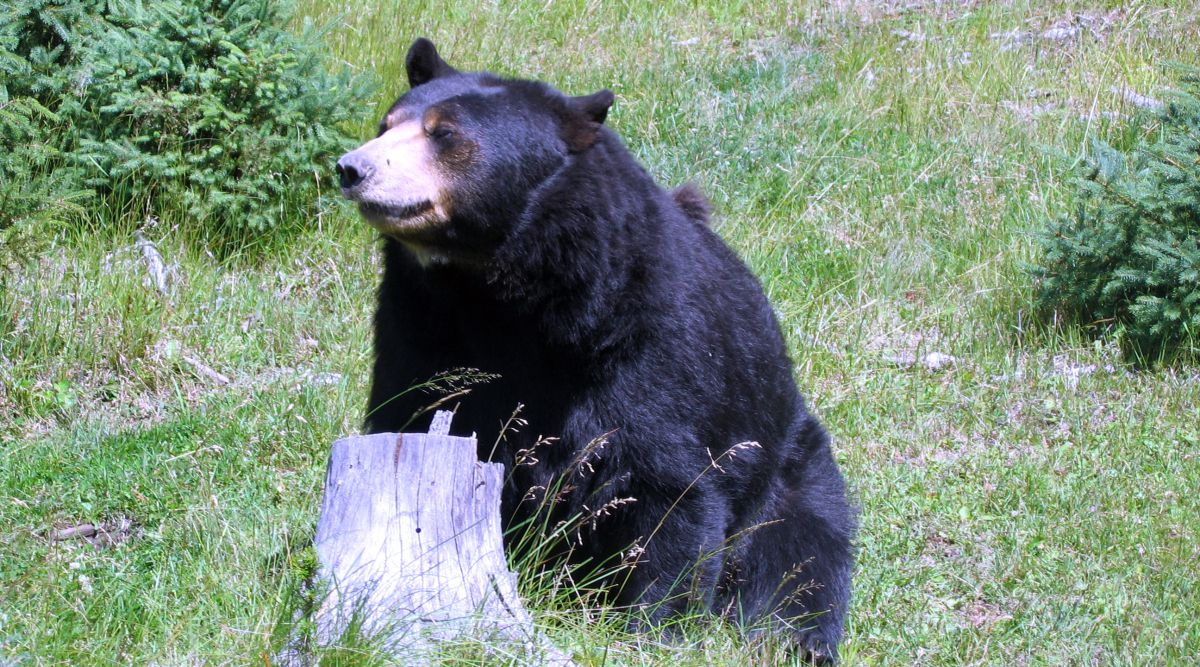 Black Bear checking the area for intruders (from Wikipedia)