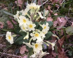 primroses-new