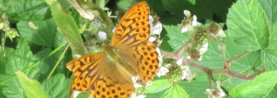 orange butterfly on brambles