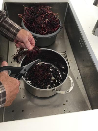 strippping elderberries from stalks