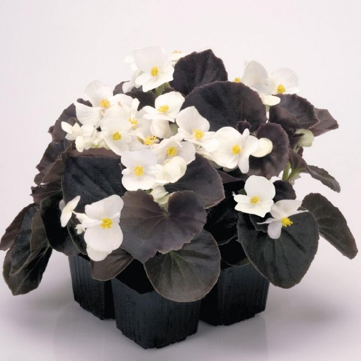 Begonias  Dallas Stone Supply and Wholesale Nursery  Outdoor Warehouse Supply