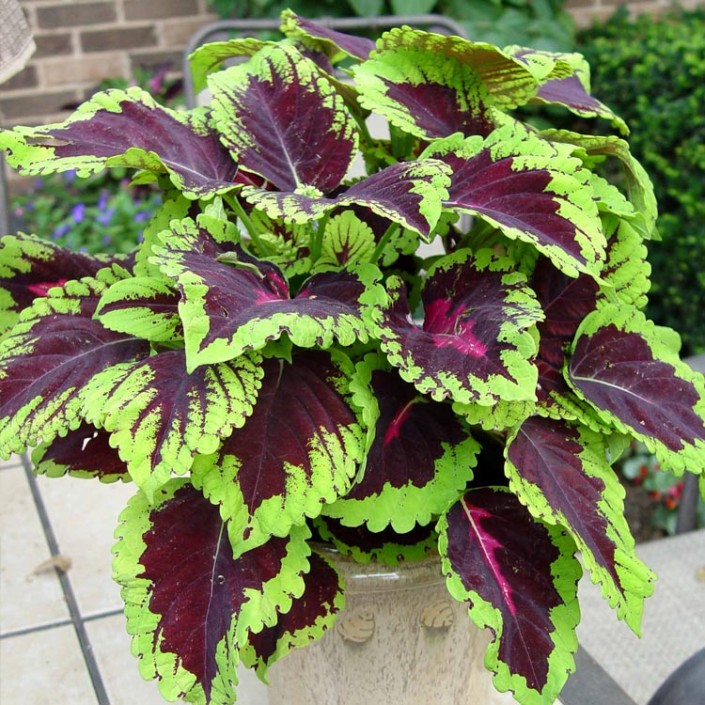 Coleus  Rose Kong  Dallas Stone Supply and Wholesale Nursery  Outdoor Warehouse Supply