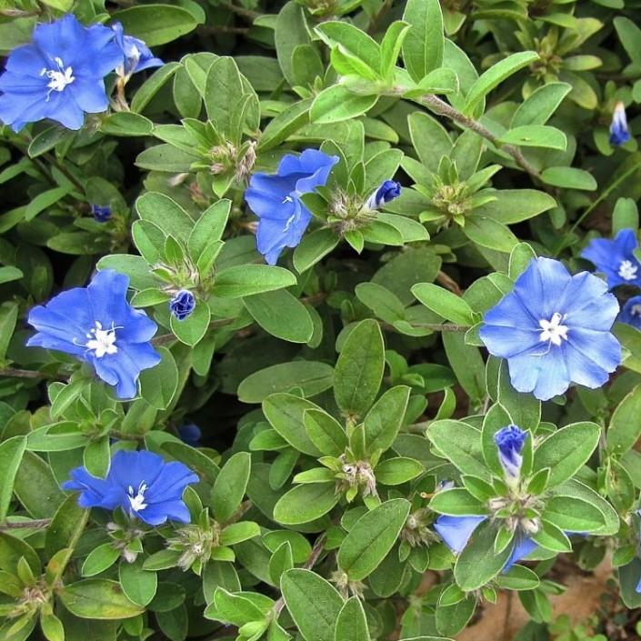 Evolvulus  Blue Daze  Dallas Stone Supply and Wholesale
