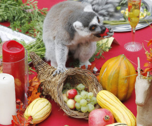 Keep your tail off the table! A lemur enjoys some fruit while committing a feast faux pas. Photo courtesy of Susan Schafer