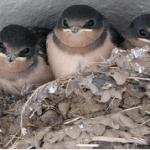 The Swallows of Cabrillo