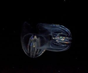 Placing comb jellies, such as these, as the relative to all animals changes our view of how complex features evolved. Image Credit: Tracie Hall, Flickr