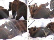 Brown bears fallate each other, make National news