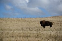 Bison and clouds