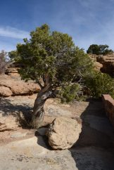Vortex energy twists tree trunk at Canyon de Chelly