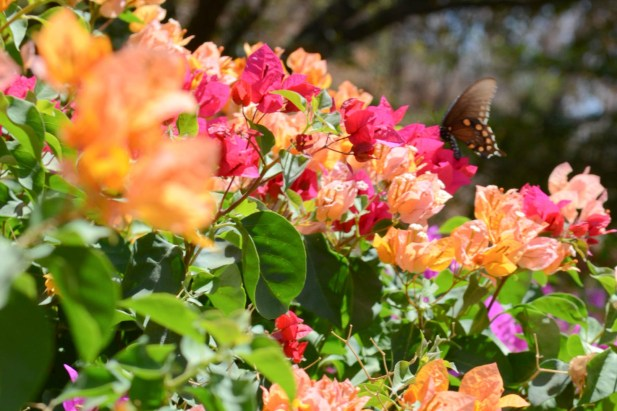 Butterflies at Los Osuna Tequila Distillery Sinaloa Mexico