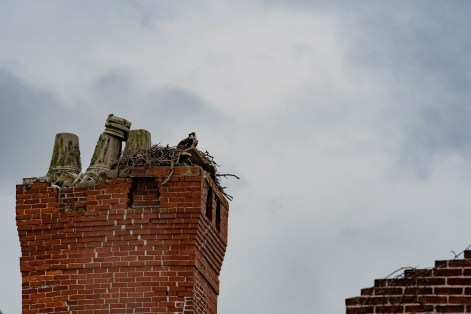 Osprey hanging out at Dungeness mansion ruins