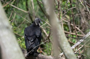 Black Vulture mom yawns next to her nest