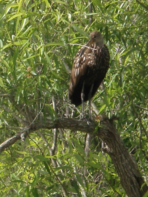 This beautiful limpkin made the loudest call - Medard Park