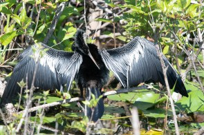 Anhinga on his namesake trail