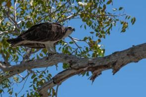 Osprey lets me get close as he enjoys a snack