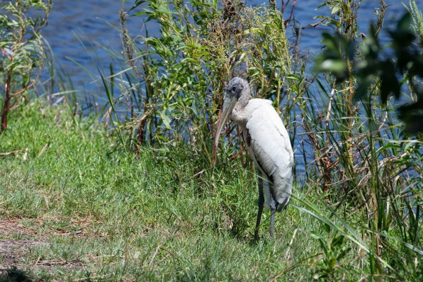 Wood stork suns himself after feeding in the mossy pond