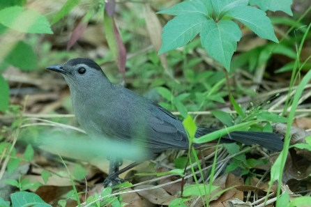 Gray Catbird rustles around in the brush along the trail
