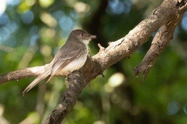 Eastern Phoebe brings home a snack