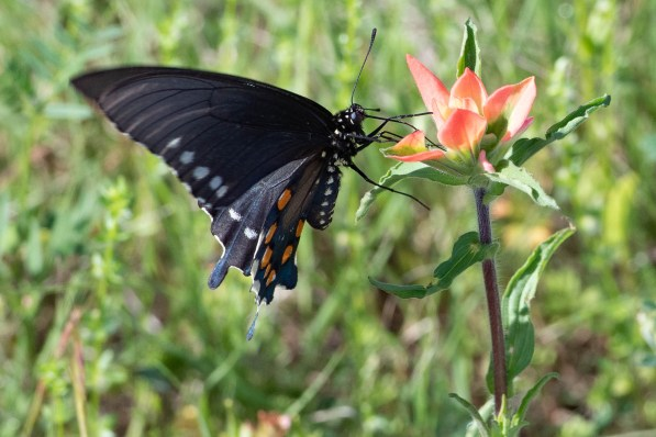 Swallow-tail Butterfly on an Indian Paintbrush bloom