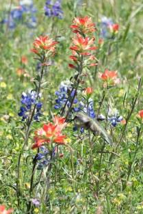 Hummingbird and Texas wildflowers