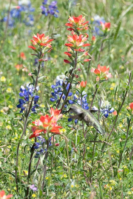 Hummingbird and Texas wildflowers