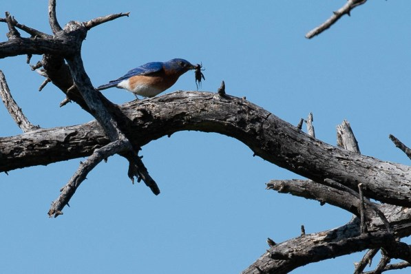 Big breakfast for this Western Bluebird